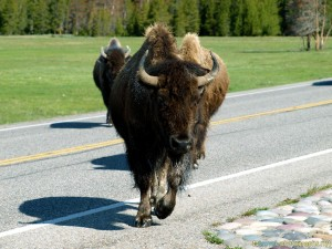 bison-buffalo-at-yellowstone-photos